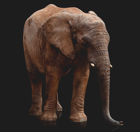 Elefant - Storslaget